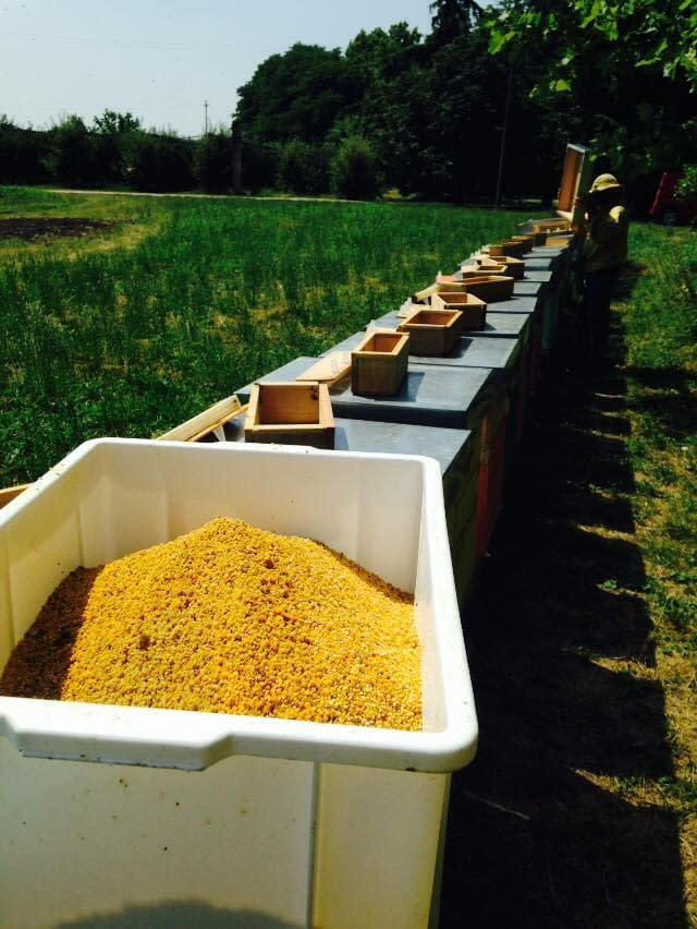 raccolta del polline